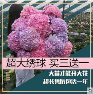 新品八仙花苗庭院阳台盆栽植物特大紫阳花无尽夏绣球花苗耐寒好养