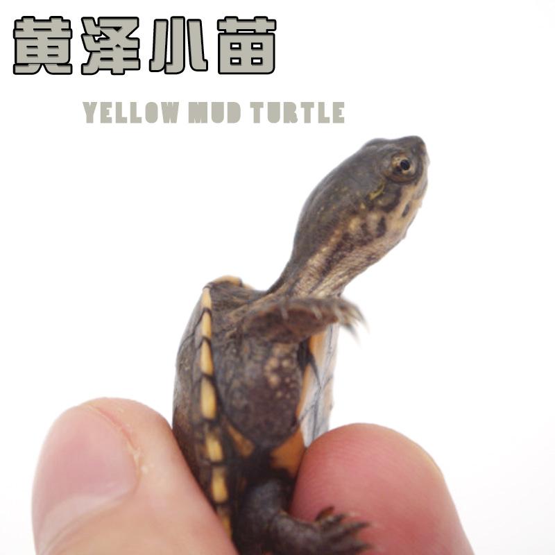 券后388.00元黄泽泥龟蛋龟苗活体乌龟深水观赏龟