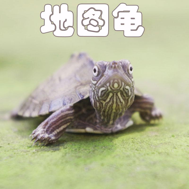 八戒姐姐外塘养殖地图龟头苗小乌龟深水龟宠物龟活体招财龟全品图片