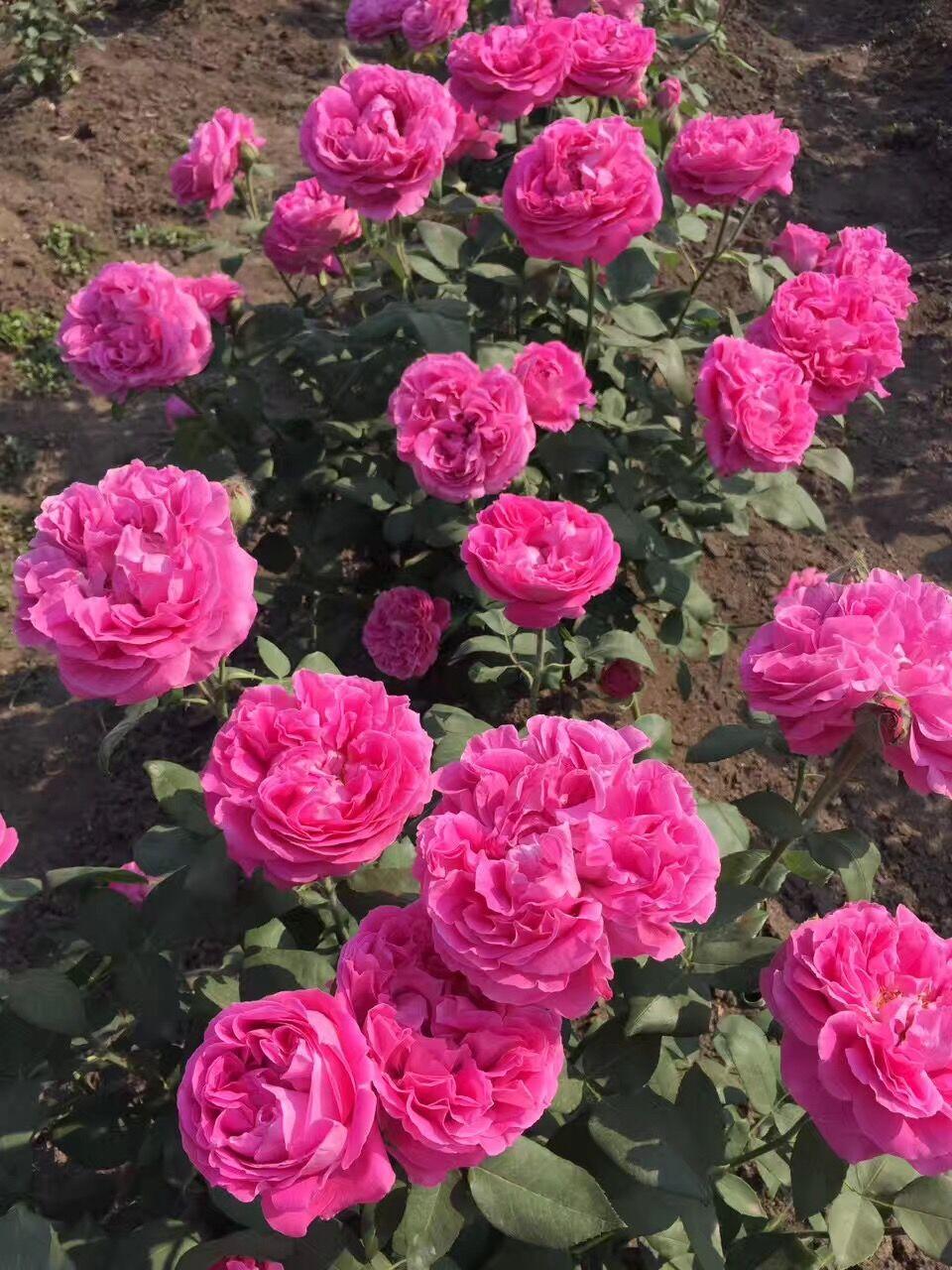 【可乐的花园】 西枝牡丹月季   重瓣 大花 抗病 多季开花  超棒
