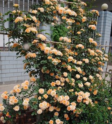 【可乐的花园】甜梦 可当微月盆栽的藤本的多头微型橙色月季花苗
