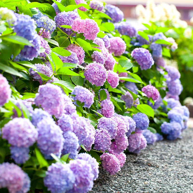 【可乐的花园】大花绣球无尽夏八仙花盆栽绣球花苗阳台花园