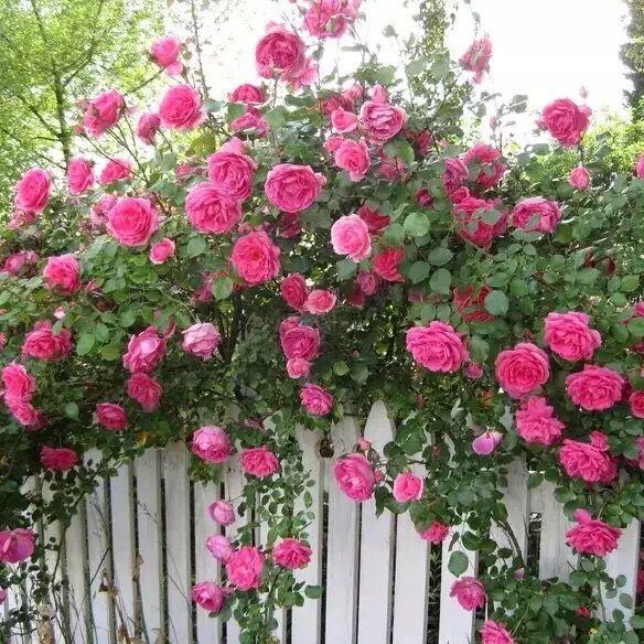 【可乐的花园】大游行月季庭院藤本盆栽阳台玫瑰花卉四季围栏爬藤