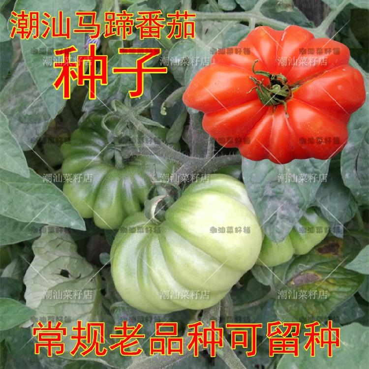 潮汕老种马蹄番茄种子 西红柿种子 老品种番茄籽 蔬菜种子大番茄