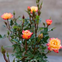 阳台桌面微型月季花苗盆栽小五彩钻石玫瑰花色多绚丽超级能开多头