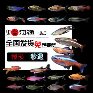 热带鱼小型观赏鱼活体红绿灯鱼斑马灯科鱼淡水宝莲灯新手包邮混养