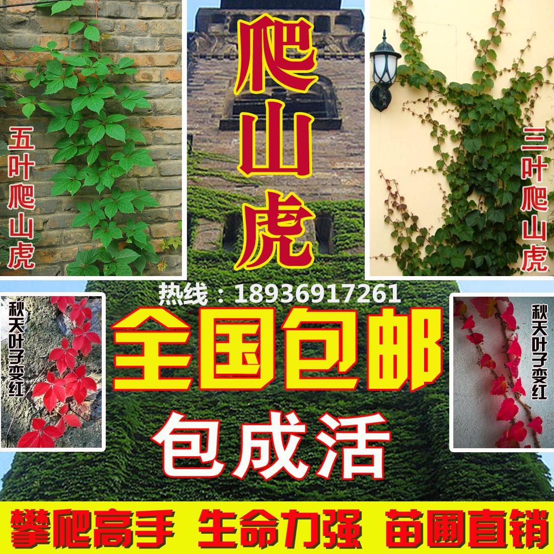 攀援爬藤植物美国五叶地锦苗子-爬山虎大苗--爬藤红叶爬墙虎花卉
