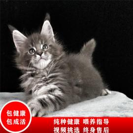 缅因猫幼猫巨型大型萝伦幼崽纯种棕虎斑缅因猫银虎斑活幼体小猫咪图片