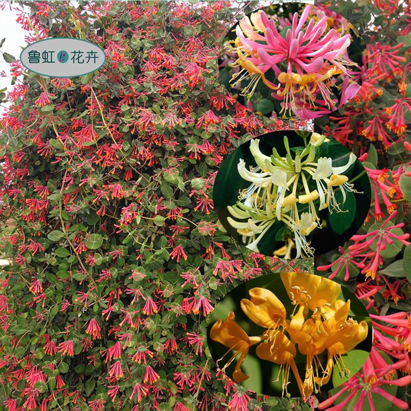 金银花盆苗  红色忍冬  京久红  金喇叭  多年生耐寒耐热花灌木