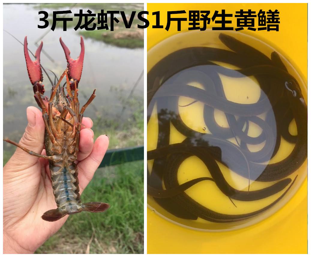 安徽安庆清水小龙虾567钱vs青红虾(非品牌)