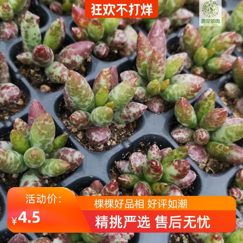 多肉植物鼓槌草莓蛋糕海豹赤兔神想曲天锦章梅花鹿爱心水泡30包邮