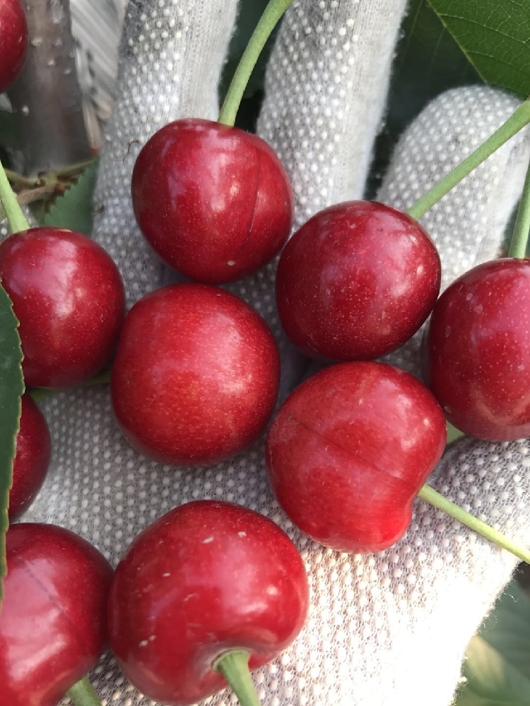 明年约大连大樱桃车厘子新鲜自家果园现摘现发巴托樱桃顺丰包邮