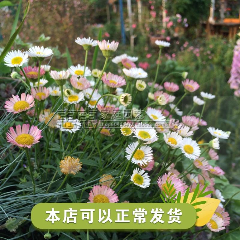 (墨西哥飞蓬) 多年生能开成粉白两色 花已残 收到请剪掉残花