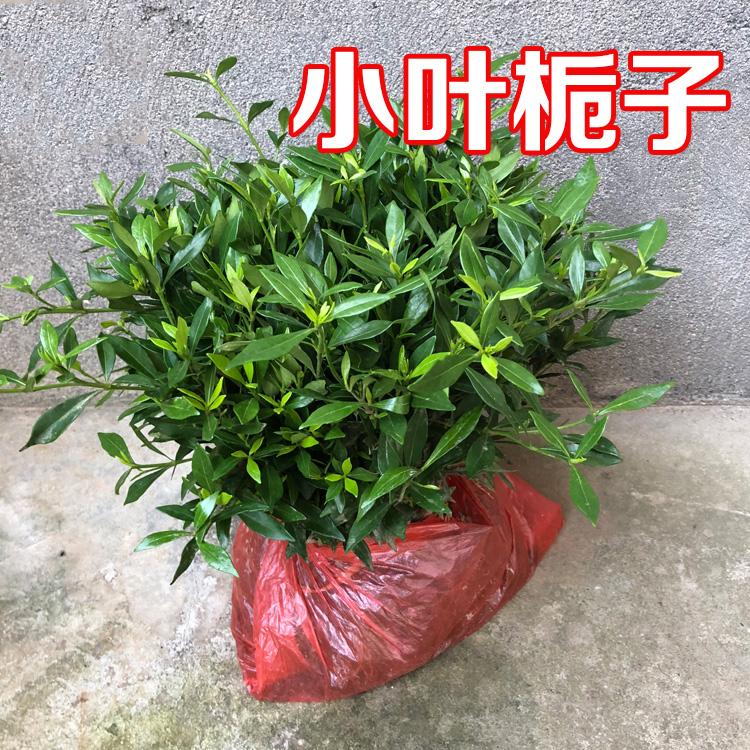 小叶栀子花苗100装庭院绿化植物四季园林别墅室外浓香型花卉耐寒图片