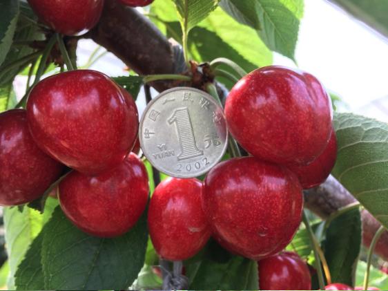 露天大连樱桃现摘-自家果园-孕妇水果-黑珍珠非山东樱桃 3斤包邮