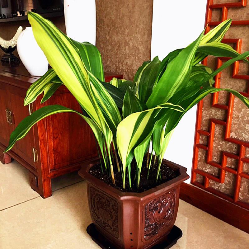 花の葉と緑の葉の一葉の蘭の金の辺の室内の客間は陰に耐えて金の盆栽の観葉をまいて空気の植物の花卉を浄化します。