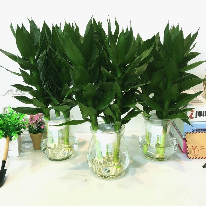 栀子花盆栽室内水培植物九里香清香木观音竹绿植办公室水养绿萝
