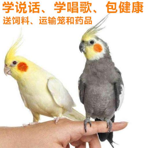 鹦鹉活体鸟宠物鸟中小型手养鸟观赏鸟黄化活体玄凤幼鸟包邮包活