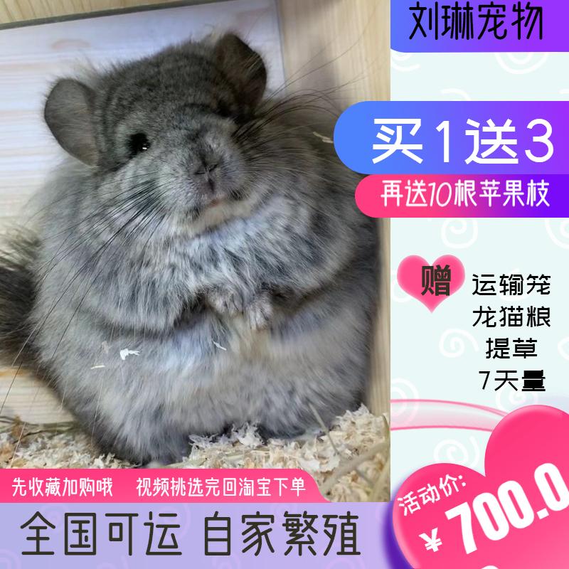 刘琳小龙猫宝宝活物活体宠物实体店家养自繁殖视频挑选全国运幼崽图片