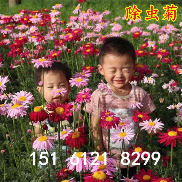 除虫菊种子驱蚊草驱虫菊花种籽子多年生混色花种子四季易活盆栽