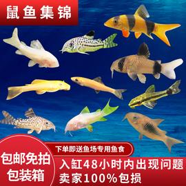 清道夫小型鼠鱼清洁琵琶垃圾鱼金苔鼠熊猫咖啡黑线大胡子除藻工具图片