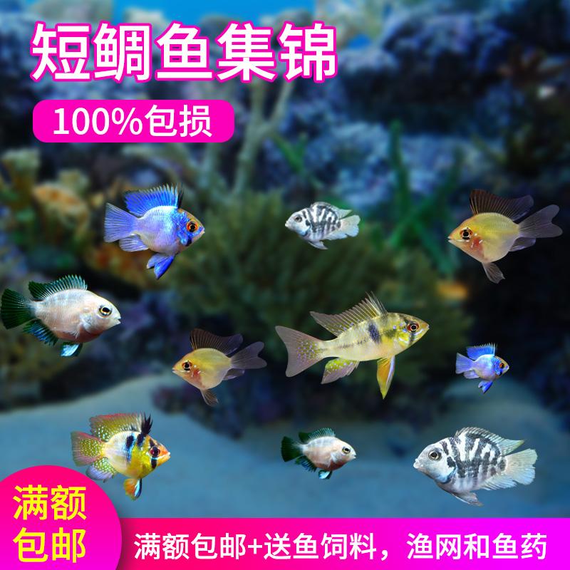 观赏鱼小型淡水迷你宝蓝白金鹦鹉鱼种鱼金波子阿凡达荷兰凤凰球鱼
