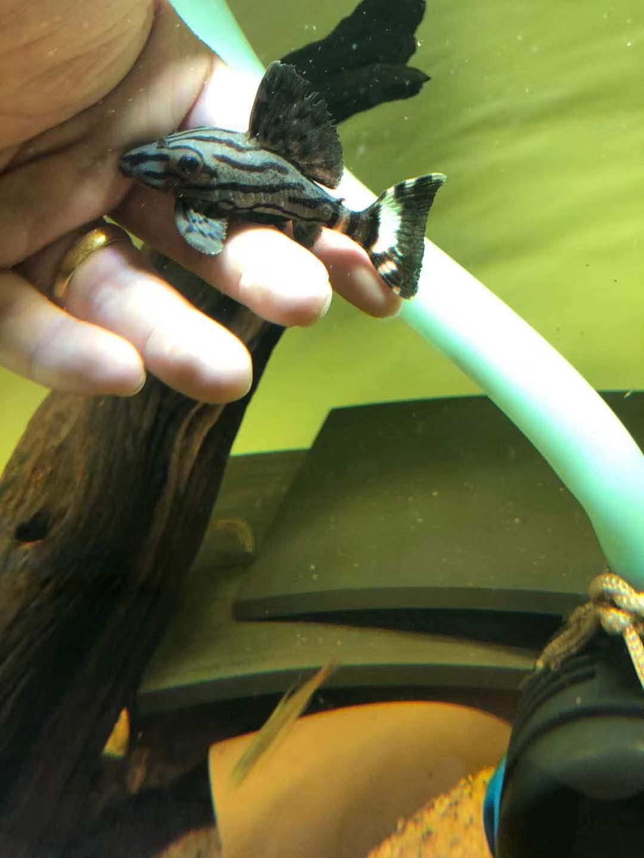 南美异型鱼皇冠豹鱼哥白哥绿皮雷神幽灵清道夫淡水观赏鱼活体宠物图片