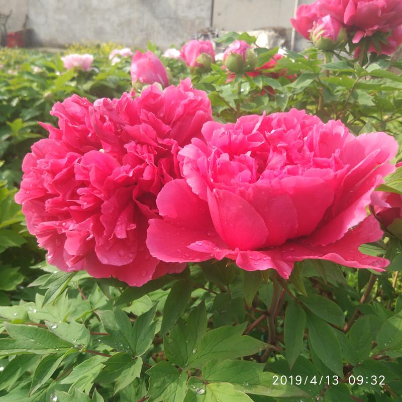 正宗洛阳观赏牡丹花苗红黑黄白粉色包对版基地直销庭院栽包邮对版