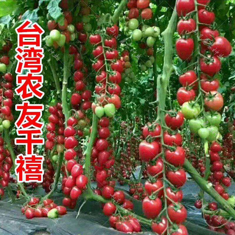 台湾农友 千禧小番茄种子寿光蔬菜种子杂交西红柿种籽圣女果苗Y