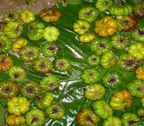 苦子 食用 大苦子云南傣族野菜