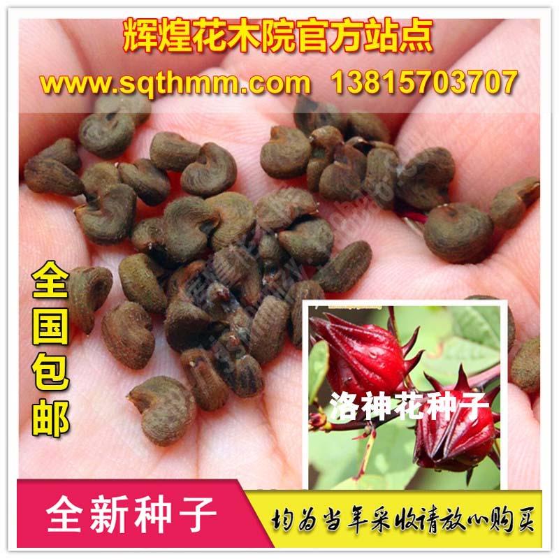 玫瑰茄洛神花种子红桃K果玫瑰茄茶景观赏花卉种子可食用包邮