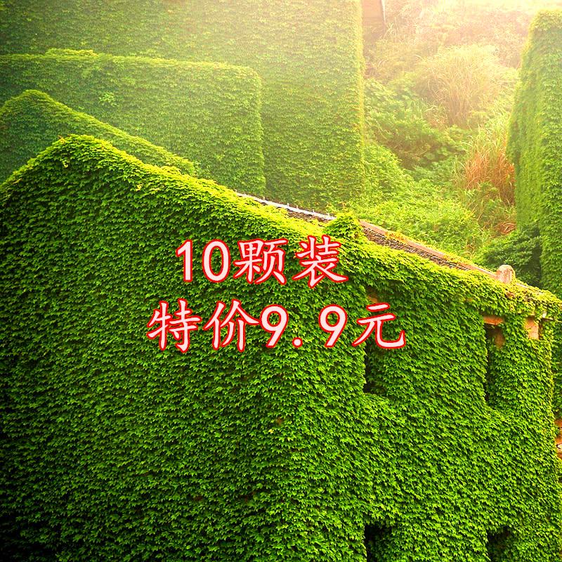 爬山虎苗爬藤植物盆栽三叶爬山虎种子大苗室内攀援观花四季爬墙虎