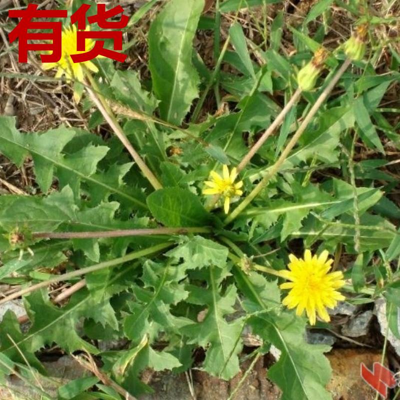 蒲公英华花郎蒲公草尿床草西洋蒲公英婆婆丁食用中草药四季种植苗