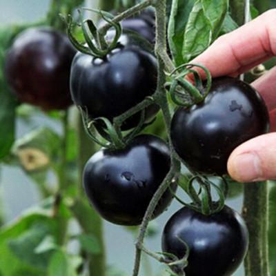 黑樱桃番茄种籽黑玉一号黑骑士春秋高产四季农家盆栽水果蔬菜种子
