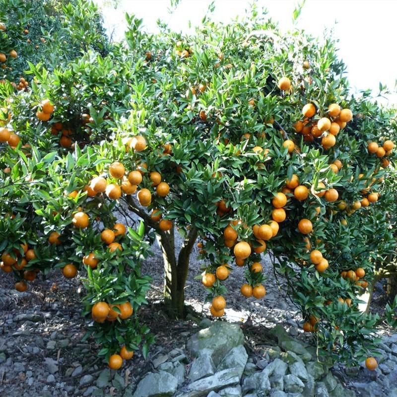 柑桔橘子苗 潮州蕉柑苗 柑橘水果嫁接柑苗木柑树苗桔子苗果树苗