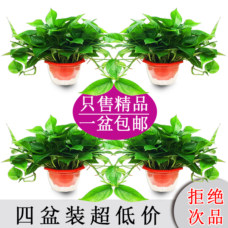 绿萝盆栽室内吸除甲醛绿植物富贵竹发财树水培养观花卉吊兰大绿箩