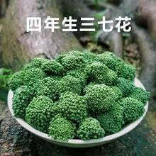 2021年三七花茶的功效云南文山特级新花正品四年野生田七散装500g