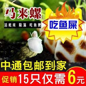 马来螺观赏螺苹果螺活体除藻螺鱼缸清洁螺吃鱼屎工具螺淡水繁殖螺