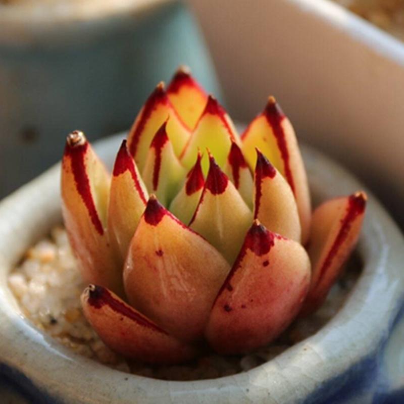 正版黄皮乌木 多肉植物 布朗先生的古董店新手盆栽一物一拍