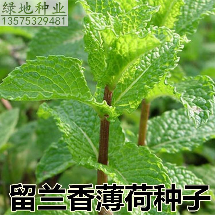 可食用留兰香美国香草阳台盆栽种子