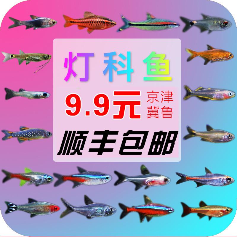 草缸活体灯科鱼热带观赏鱼斑马鱼宝莲灯淡水群游鱼小型红绿灯包邮