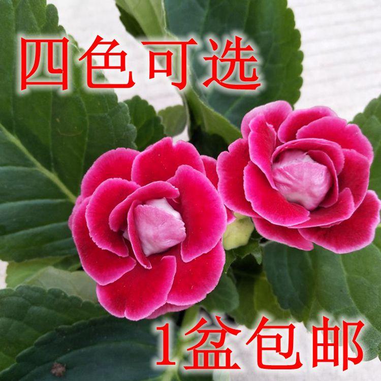 大岩桐重瓣盆栽富贵芙蓉花苗窗台阳台花卉观花植物四季开花带花苞