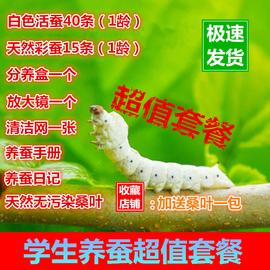 飼料繭蠶寶寶套裝白色養殖活體學生養蠶桑養蠶蠶絲幼蟲大型圖片