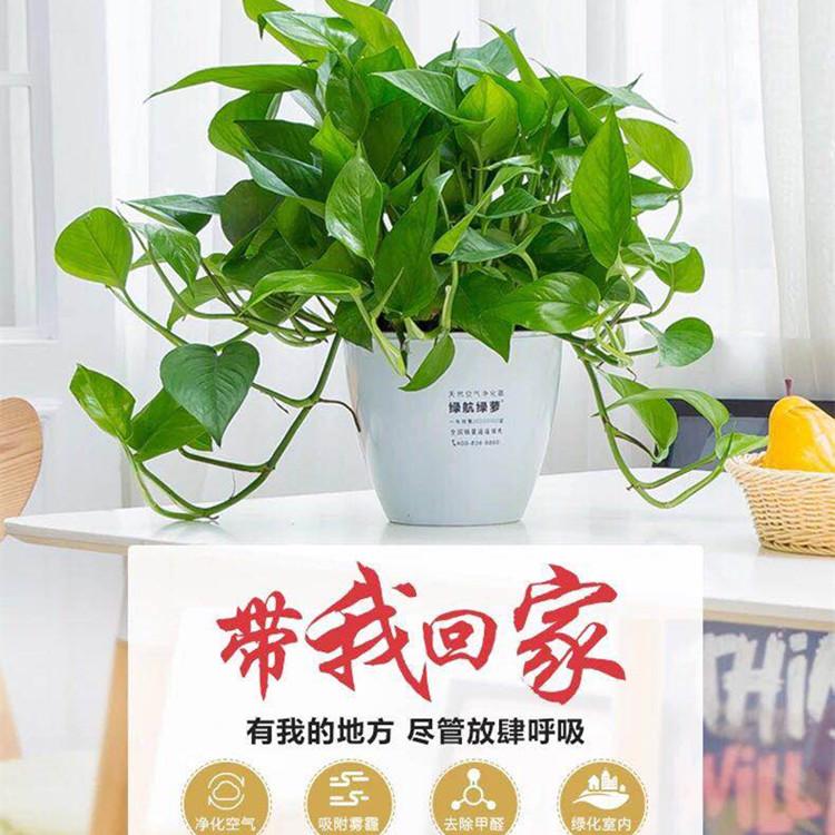 绿航绿萝吊兰盆栽花卉大叶水培植物室内客厅净化空气吸甲醛