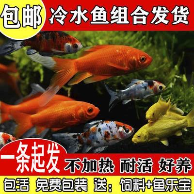 金鱼锦鲤观赏鱼长尾龙凤活鱼冷水鱼小金鱼观赏鱼小型 淡水 好养