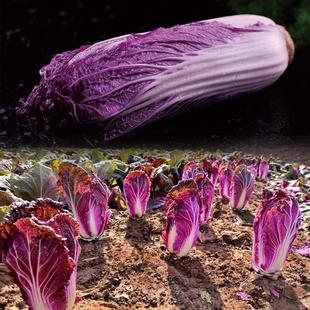 播推荐 蔬基地秋季 紫宝紫白菜种子大白菜紫裔色蔬菜高产春秋四季