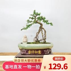 挂果小叶福建茶提根造型盆景庭院绿植形态独特室内外养护生命力强