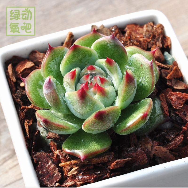 多肉植物【吉娃莲】肉肉批室内办公室桌面绿植小盆栽花卉