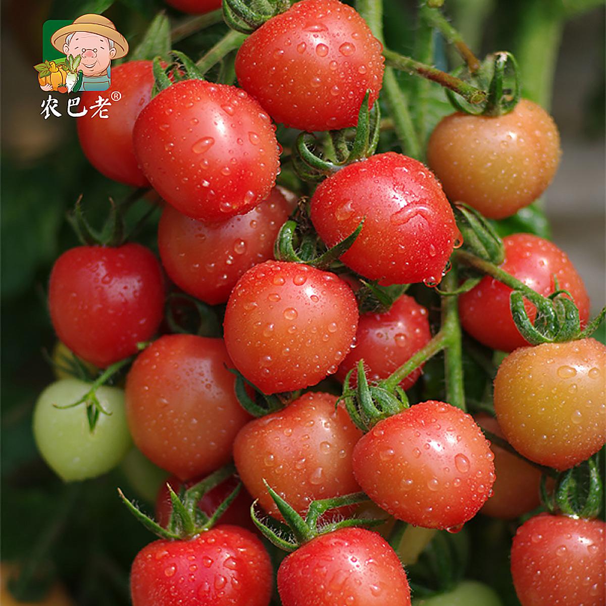 农巴老 新鲜蔬菜超甜千禧小番茄樱桃小西红柿大小洋柿子4斤