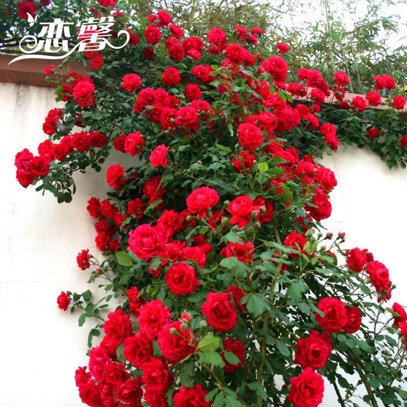 Европа месяц роза рассада комнатные цветы завод балкон суд больница виноградная лоза в этом месяце сезон цветения подъем виноградная лоза китайская роза четыре сезона цветение